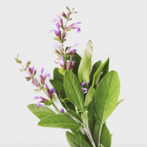 The benefits of Sage / Salvia Officinalis